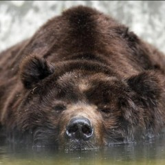 Bear Market : Ours brun ou Grizzly ?