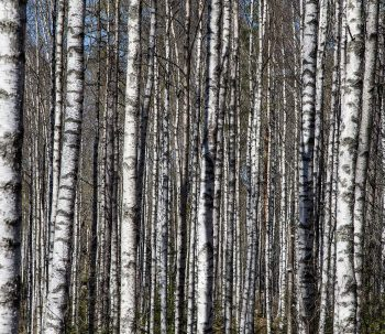 birch-trees-1194381_1920